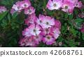 Rosa Canina 42668761
