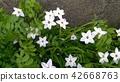 이페이온, 자화부추, 향기별꽃 42668763