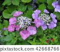 산수국, 수국, 꽃 42668766