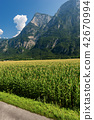 Corn Field in the Valsugana - Sugana Valley Italy 42670994