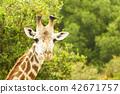 giraffe 42671757