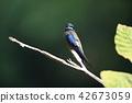 野生鳥類 野鳥 小鳥 42673059
