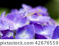 在紫色八仙花屬花的螳螂幼蟲 42676559