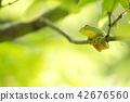 在一個分支的日本黑莓蟾蜍在綠色背面 42676560