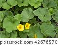 호박, 단호박, 꽃 42676570