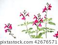 세이지, 꽃, 플라워 42676571