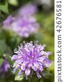 꽃, 플라워, 퍼플 42676581