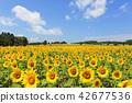 หมู่บ้านดอกทานตะวันในเมืองฮอกไกโดคิตะอุรุทุ่งดอกทานตะวันบานเต็มที่ 42677536