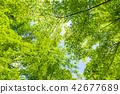 fine, tree, wood 42677689