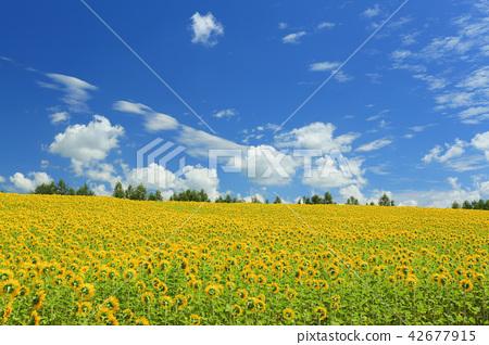 ฤดูร้อนฮอกไกโด Biei โฟร์ซีซั่น Ayana no Hill ทุ่งทานตะวัน 42677915