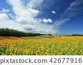 ฤดูร้อนฮอกไกโด Biei โฟร์ซีซั่น Ayana no Hill ทุ่งทานตะวัน 42677916