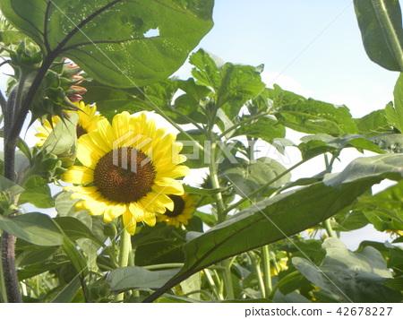 向日葵 太陽花 花朵 42678227