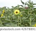 各种各样的花类型向日葵黄色花 42678891