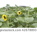 各种各样的花类型向日葵黄色花 42678893