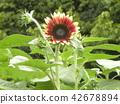 ดอกไม้,ฤดูร้อน,หน้าร้อน 42678894