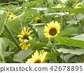 ดอกไม้,ฤดูร้อน,หน้าร้อน 42678895