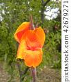 ดอกไม้,ฤดูร้อน,หน้าร้อน 42679271