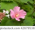 ดอกไม้,ฤดูร้อน,หน้าร้อน 42679538