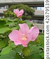 ดอกไม้,ฤดูร้อน,หน้าร้อน 42679539