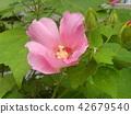 ดอกไม้,ฤดูร้อน,หน้าร้อน 42679540