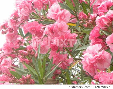 千葉市の花木キョウチクトウの赤い花 42679657