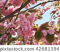 ดอกพีช 42681394