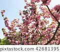 ดอกพีช 42681395