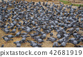 Flock of pigeons feeding on the town square 42681919