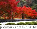 단풍, 가을, 단풍나무 42684160