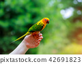 Adorable sun conure parrots on hand 42691823