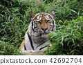 老虎 虎 多摩動物園 42692704