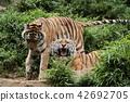老虎 虎 多摩動物園 42692705