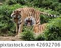 老虎 虎 多摩動物園 42692706