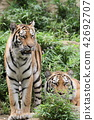 老虎 虎 多摩動物園 42692707