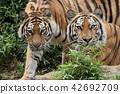老虎 虎 多摩動物園 42692709
