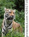 老虎 虎 多摩動物園 42692710