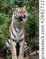 老虎 虎 多摩動物園 42692712
