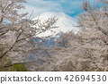 Fuji Mt. and Sakura 42694530