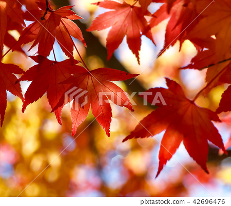 Yellow red maple leaf 42696476