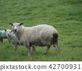 lamb, sheep, meadow 42700931