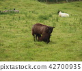 lamb, sheep, meadow 42700935