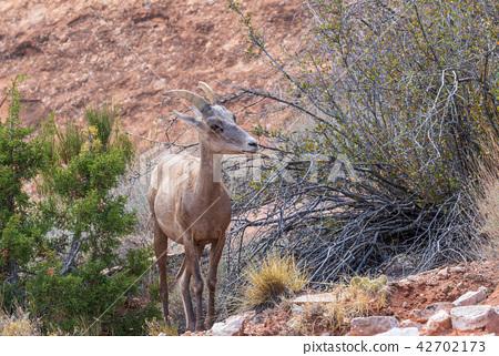 Desert Bighorn Sheep Ewe 42702173
