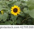 說到夏天的花朵,黃色的向日葵 42705366