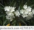 千叶花树白花 42705371