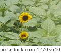 說到夏天的花朵,黃色的向日葵 42705640