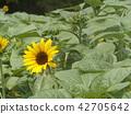 說到夏天的花朵,黃色的向日葵 42705642