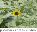 說到夏天的花朵,黃色的向日葵 42705647