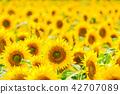 向日葵 花朵 花卉 42707089