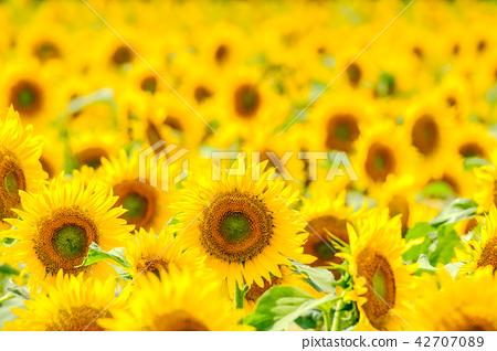 向日葵(海嘯向日葵廣場) 42707089