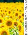 向日葵 花朵 花卉 42707782
